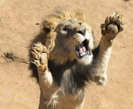 Lion Upright Attacking