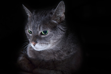 Grey Tabby Cat on Black Background