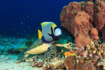 Emperor Angelfish Hawksbill Turtle fish coral reef underwater