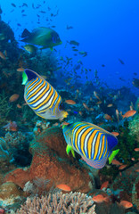 Regal Angelfish pair fish coral reef underwater