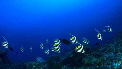 Bannnerfish fish coral reef underwater