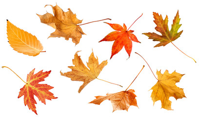 Fall leaves isolated on white background collection