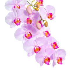blossoming twig of beautiful gentle lilac orchid, phalaenopsis i