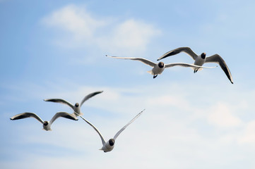 Flock Seagulls in the blue sky. Seagulls flying high in the clouds. Free wild birds seagulls with the black heads.
