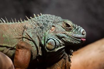 Green iguana (Iguana iguana).