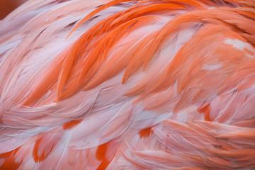 Caribische flamingo (Phoenicopterus ruber)