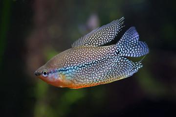 Pearl gourami (Trichopodus leerii)