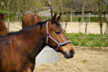 Braunes Pferd im Gehege