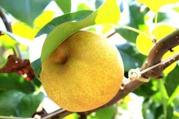 Japanese pear tree