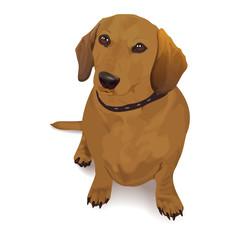 Dachshund. Vector realistic illustration of a dog