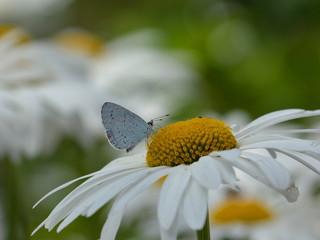 Holly blue butterfly or Celastrina argiolus on daisy hart