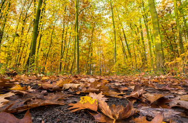 Fotoväggar - sonniger leuchtender Herbstwald mit Blättern im Vordergrund