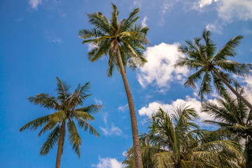 Coconut palm tree with blue in tropical island