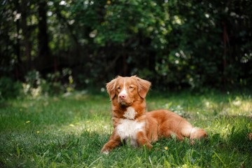 Dog Nova Scotia Duck Tolling Retriever lying in the garden