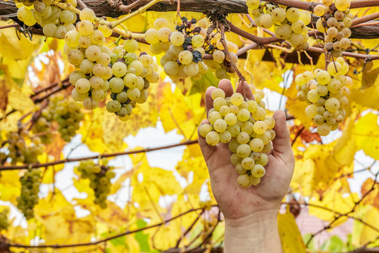 Grapes harvest. Farmer take a ripe white grapes in vineyard