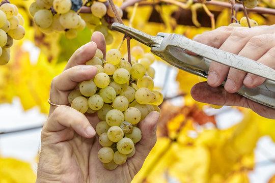 Grapes harvest. Farmer cuts a ripe white grapes in vineyard