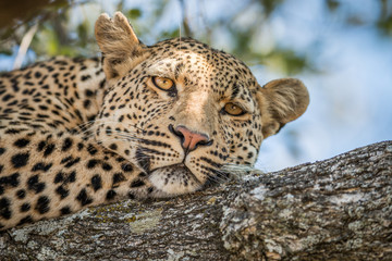 A Leopard laying in a tree in the Kruger.