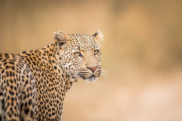 A Leopard looking back in the Kruger.