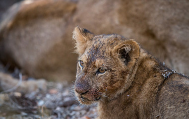 Face of a dirty Lion cub in the Kruger.