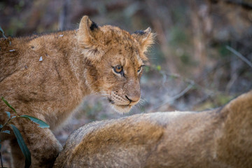 Side profile of a Lion cub in the Kruger.