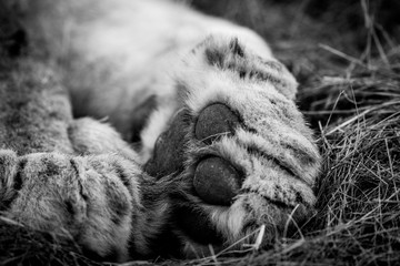 Close up of a Lion paw in black and white in the Kruger.