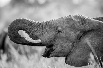 Elephant drinking in black and white the Kruger.