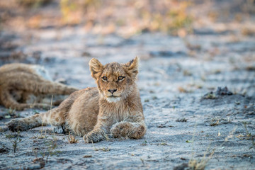 Lion cub laying down in the Kruger.