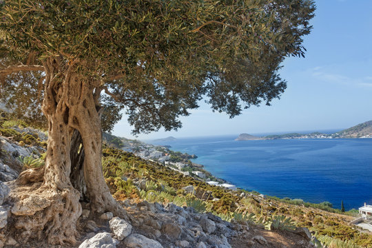 South European landscape with huge ancient olive tree and sea bay on Greek Kalymnos island