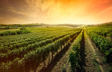 Wall Murals Vineyard Beautiful vineyard with sunset sky