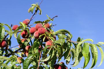 Rote saftige Pfirsiche an einem Baum