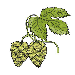 Hop branch isolated on white. Hand drawn vector illustration.