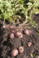 Tubers of red potatoes lies on a bed