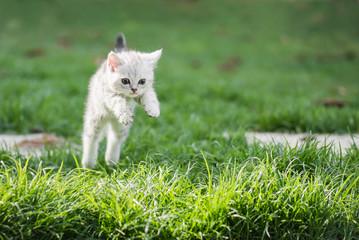 Cute American short hair kitten jumping