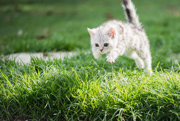 Cute American short hair kitten jumping