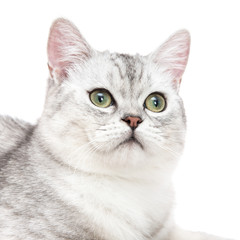 Close up of American short hair cat