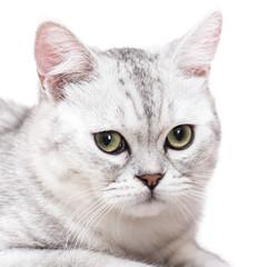 Close up of American short hair cat