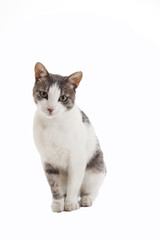 Cute cat in studio and isolated on white.