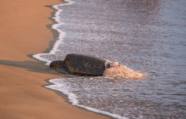 giant tortoise on sandy beach at sunset in Maui