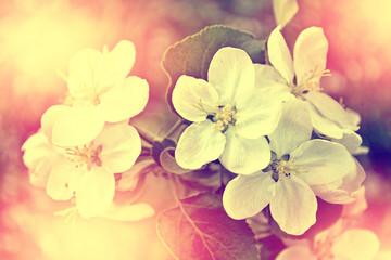 spring landscape. Flowering apple tree. garden.