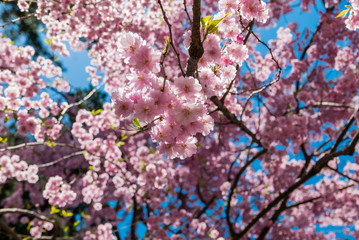 Cherry blossoms at the Hirosaki Castle Park