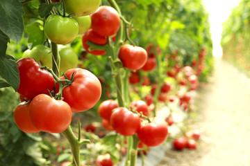 Fototapeta ripe tomatoes on a branch obraz