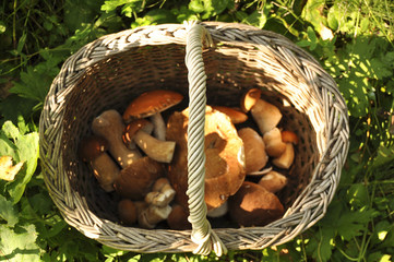 Корзина с грибами стоит в траве, лес, природа, осень