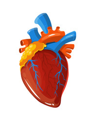 Human heart anatomy vector medical illustration
