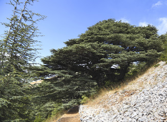 Lebanon Cedar Tree in forest- a photo of the actual tree represented as a symbol on the Lebanese flag