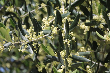 Flowering olive branch in spring, Tuscany Italy