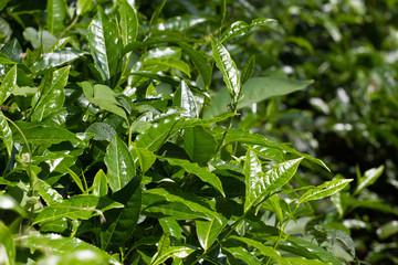 Tea leaves on  plantation. Coonor, Nilgiri, India, Tamil Nadu