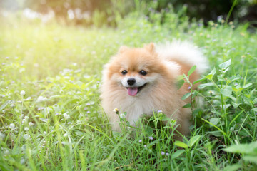 cute fluffy Pomeranian dog sitting in a spring park surrounded