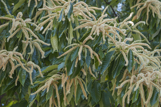 American chestnut male flowers(Castanea dentata)