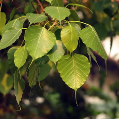 The leaves of the Bodhi tree