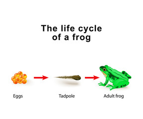 Metamorphosis amphibians, for example, the life cycle of frogs
